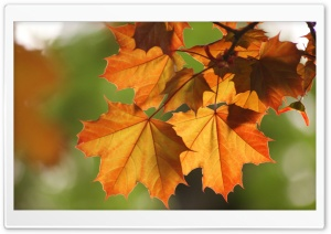 Orange Leaves HD Wide Wallpaper for 4K UHD Widescreen desktop & smartphone