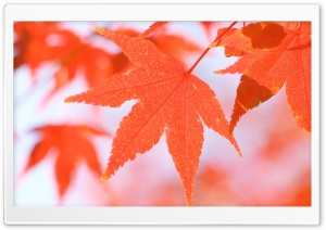 Orange Leaves HD Wide Wallpaper for Widescreen