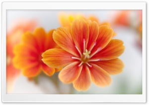 Orange Lewisia HD Wide Wallpaper for Widescreen