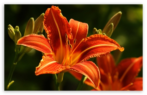 Orange Lilies HD wallpaper for Wide 16:10 5:3 Widescreen WHXGA WQXGA WUXGA WXGA WGA ; HD 16:9 High Definition WQHD QWXGA 1080p 900p 720p QHD nHD ; Standard 4:3 5:4 3:2 Fullscreen UXGA XGA SVGA QSXGA SXGA DVGA HVGA HQVGA devices ( Apple PowerBook G4 iPhone 4 3G 3GS iPod Touch ) ; iPad 1/2/Mini ; Mobile 4:3 5:3 3:2 16:9 5:4 - UXGA XGA SVGA WGA DVGA HVGA HQVGA devices ( Apple PowerBook G4 iPhone 4 3G 3GS iPod Touch ) WQHD QWXGA 1080p 900p 720p QHD nHD QSXGA SXGA ;