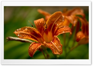 Orange Lilies HD Wide Wallpaper for Widescreen