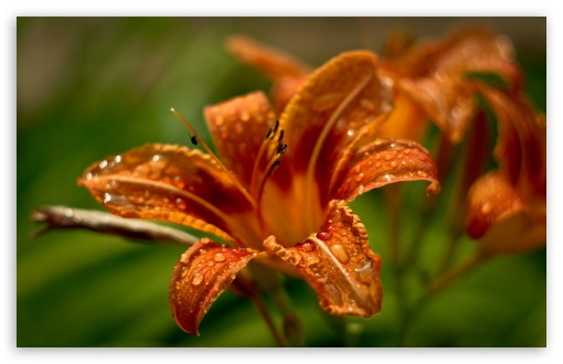 Orange Lilies HD wallpaper for Wide 16:10 5:3 Widescreen WHXGA WQXGA WUXGA WXGA WGA ; HD 16:9 High Definition WQHD QWXGA 1080p 900p 720p QHD nHD ; Standard 4:3 5:4 3:2 Fullscreen UXGA XGA SVGA QSXGA SXGA DVGA HVGA HQVGA devices ( Apple PowerBook G4 iPhone 4 3G 3GS iPod Touch ) ; Tablet 1:1 ; iPad 1/2/Mini ; Mobile 4:3 5:3 3:2 16:9 5:4 - UXGA XGA SVGA WGA DVGA HVGA HQVGA devices ( Apple PowerBook G4 iPhone 4 3G 3GS iPod Touch ) WQHD QWXGA 1080p 900p 720p QHD nHD QSXGA SXGA ;