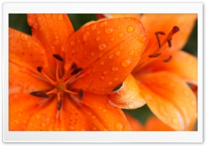 Orange Lily HD Wide Wallpaper for Widescreen