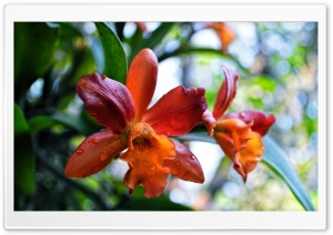 Orange Orchid HD Wide Wallpaper for 4K UHD Widescreen desktop & smartphone