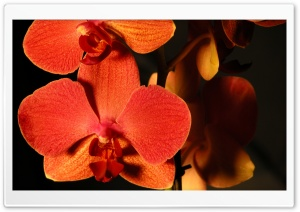 Orange Orchids Ultra HD Wallpaper for 4K UHD Widescreen desktop, tablet & smartphone