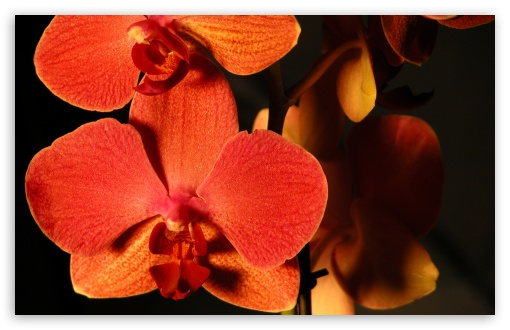 Orange Orchids HD wallpaper for Wide 16:10 5:3 Widescreen WHXGA WQXGA WUXGA WXGA WGA ; HD 16:9 High Definition WQHD QWXGA 1080p 900p 720p QHD nHD ; Standard 4:3 5:4 3:2 Fullscreen UXGA XGA SVGA QSXGA SXGA DVGA HVGA HQVGA devices ( Apple PowerBook G4 iPhone 4 3G 3GS iPod Touch ) ; Tablet 1:1 ; iPad 1/2/Mini ; Mobile 4:3 5:3 3:2 16:9 5:4 - UXGA XGA SVGA WGA DVGA HVGA HQVGA devices ( Apple PowerBook G4 iPhone 4 3G 3GS iPod Touch ) WQHD QWXGA 1080p 900p 720p QHD nHD QSXGA SXGA ;