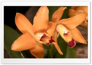 Orange Orchids HD Wide Wallpaper for Widescreen