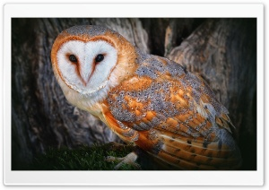 Orange Owl HD Wide Wallpaper for Widescreen