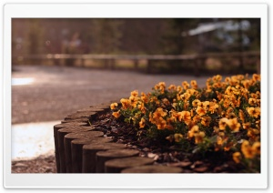 Orange Pansies HD Wide Wallpaper for Widescreen