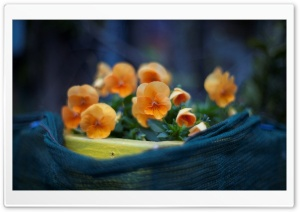Orange Pansies Flowers HD Wide Wallpaper for Widescreen