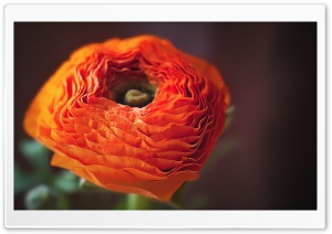 Orange Persian Buttercup Flower HD Wide Wallpaper for 4K UHD Widescreen desktop & smartphone