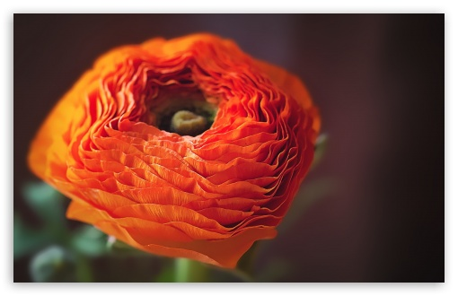 Orange Persian Buttercup Flower ❤ 4K UHD Wallpaper for Wide 16:10 5:3 Widescreen WHXGA WQXGA WUXGA WXGA WGA ; 4K UHD 16:9 Ultra High Definition 2160p 1440p 1080p 900p 720p ; Standard 4:3 5:4 3:2 Fullscreen UXGA XGA SVGA QSXGA SXGA DVGA HVGA HQVGA ( Apple PowerBook G4 iPhone 4 3G 3GS iPod Touch ) ; Smartphone 5:3 WGA ; Tablet 1:1 ; iPad 1/2/Mini ; Mobile 4:3 5:3 3:2 16:9 5:4 - UXGA XGA SVGA WGA DVGA HVGA HQVGA ( Apple PowerBook G4 iPhone 4 3G 3GS iPod Touch ) 2160p 1440p 1080p 900p 720p QSXGA SXGA ;