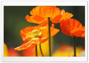 Orange Poppies HD Wide Wallpaper for Widescreen