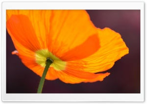 Orange Poppy HD Wide Wallpaper for Widescreen