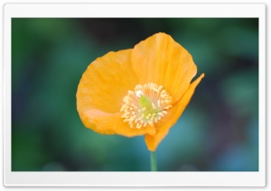 Orange Poppy Flower HD Wide Wallpaper for Widescreen