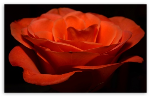 Orange Rose ❤ 4K UHD Wallpaper for Wide 16:10 5:3 Widescreen WHXGA WQXGA WUXGA WXGA WGA ; 4K UHD 16:9 Ultra High Definition 2160p 1440p 1080p 900p 720p ; UHD 16:9 2160p 1440p 1080p 900p 720p ; Standard 4:3 5:4 3:2 Fullscreen UXGA XGA SVGA QSXGA SXGA DVGA HVGA HQVGA ( Apple PowerBook G4 iPhone 4 3G 3GS iPod Touch ) ; Smartphone 5:3 WGA ; Tablet 1:1 ; iPad 1/2/Mini ; Mobile 4:3 5:3 3:2 16:9 5:4 - UXGA XGA SVGA WGA DVGA HVGA HQVGA ( Apple PowerBook G4 iPhone 4 3G 3GS iPod Touch ) 2160p 1440p 1080p 900p 720p QSXGA SXGA ;