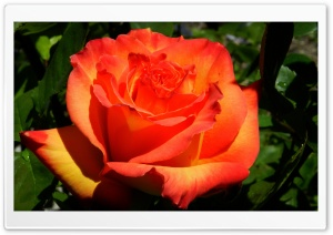 Orange Rose HD Wide Wallpaper for 4K UHD Widescreen desktop & smartphone