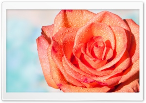 Orange Rose Ultra HD Wallpaper for 4K UHD Widescreen desktop, tablet & smartphone