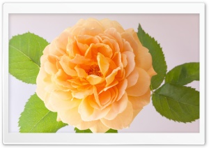 Orange Rose HD Wide Wallpaper for Widescreen
