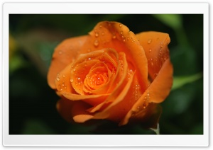 Orange Rose Bud HD Wide Wallpaper for Widescreen