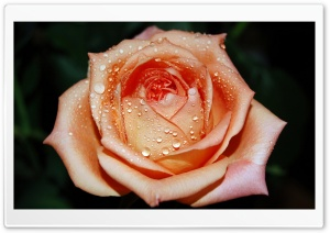 Orange Rose Flower HD Wide Wallpaper for Widescreen