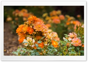 Orange Rose Garden HD Wide Wallpaper for Widescreen