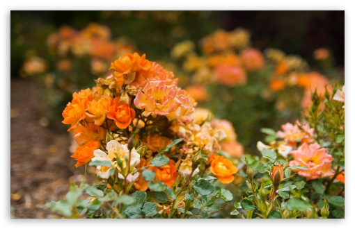 Orange Rose Garden HD wallpaper for Wide 16:10 5:3 Widescreen WHXGA WQXGA WUXGA WXGA WGA ; HD 16:9 High Definition WQHD QWXGA 1080p 900p 720p QHD nHD ; UHD 16:9 WQHD QWXGA 1080p 900p 720p QHD nHD ; Standard 4:3 5:4 3:2 Fullscreen UXGA XGA SVGA QSXGA SXGA DVGA HVGA HQVGA devices ( Apple PowerBook G4 iPhone 4 3G 3GS iPod Touch ) ; Tablet 1:1 ; iPad 1/2/Mini ; Mobile 4:3 5:3 3:2 16:9 5:4 - UXGA XGA SVGA WGA DVGA HVGA HQVGA devices ( Apple PowerBook G4 iPhone 4 3G 3GS iPod Touch ) WQHD QWXGA 1080p 900p 720p QHD nHD QSXGA SXGA ;