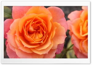 Orange Roses HD Wide Wallpaper for Widescreen