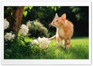 Orange Tabby Kitten HD Wide Wallpaper for Widescreen