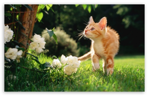 Orange Tabby Kitten HD wallpaper for Wide 16:10 5:3 Widescreen WHXGA WQXGA WUXGA WXGA WGA ; HD 16:9 High Definition WQHD QWXGA 1080p 900p 720p QHD nHD ; Standard 4:3 5:4 3:2 Fullscreen UXGA XGA SVGA QSXGA SXGA DVGA HVGA HQVGA devices ( Apple PowerBook G4 iPhone 4 3G 3GS iPod Touch ) ; Tablet 1:1 ; iPad 1/2/Mini ; Mobile 4:3 5:3 3:2 16:9 5:4 - UXGA XGA SVGA WGA DVGA HVGA HQVGA devices ( Apple PowerBook G4 iPhone 4 3G 3GS iPod Touch ) WQHD QWXGA 1080p 900p 720p QHD nHD QSXGA SXGA ;