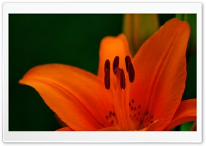 Orange Tiger Lily Macro HD Wide Wallpaper for Widescreen