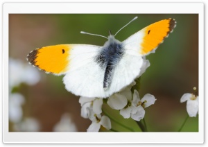 Orange Tip Butterfly, Aurorafalter HD Wide Wallpaper for 4K UHD Widescreen desktop & smartphone