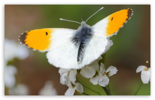 Orange Tip Butterfly, Aurorafalter ❤ 4K UHD Wallpaper for Wide 16:10 5:3 Widescreen WHXGA WQXGA WUXGA WXGA WGA ; 4K UHD 16:9 Ultra High Definition 2160p 1440p 1080p 900p 720p ; Standard 4:3 5:4 3:2 Fullscreen UXGA XGA SVGA QSXGA SXGA DVGA HVGA HQVGA ( Apple PowerBook G4 iPhone 4 3G 3GS iPod Touch ) ; iPad 1/2/Mini ; Mobile 4:3 5:3 3:2 16:9 5:4 - UXGA XGA SVGA WGA DVGA HVGA HQVGA ( Apple PowerBook G4 iPhone 4 3G 3GS iPod Touch ) 2160p 1440p 1080p 900p 720p QSXGA SXGA ;