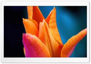 Orange Tulip Ultra HD Wallpaper for 4K UHD Widescreen desktop, tablet & smartphone
