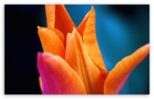 Orange Tulip ❤ 4K UHD Wallpaper for Wide 16:10 5:3 Widescreen WHXGA WQXGA WUXGA WXGA WGA ; 4K UHD 16:9 Ultra High Definition 2160p 1440p 1080p 900p 720p ; UHD 16:9 2160p 1440p 1080p 900p 720p ; Standard 4:3 5:4 3:2 Fullscreen UXGA XGA SVGA QSXGA SXGA DVGA HVGA HQVGA ( Apple PowerBook G4 iPhone 4 3G 3GS iPod Touch ) ; Smartphone 5:3 WGA ; Tablet 1:1 ; iPad 1/2/Mini ; Mobile 4:3 5:3 3:2 16:9 5:4 - UXGA XGA SVGA WGA DVGA HVGA HQVGA ( Apple PowerBook G4 iPhone 4 3G 3GS iPod Touch ) 2160p 1440p 1080p 900p 720p QSXGA SXGA ;