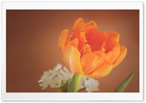 Orange Tulip HD Wide Wallpaper for 4K UHD Widescreen desktop & smartphone