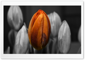 Orange Tulip Black and White Background HD Wide Wallpaper for Widescreen