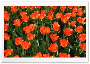 Orange Tulip Field HD Wide Wallpaper for Widescreen