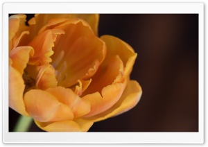 Orange Tulip Macro HD Wide Wallpaper for Widescreen