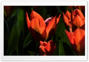 Orange Tulips HD Wide Wallpaper for 4K UHD Widescreen desktop & smartphone