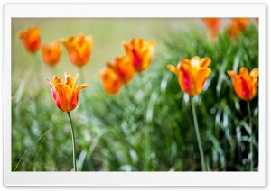 Orange Tulips HD Wide Wallpaper for Widescreen