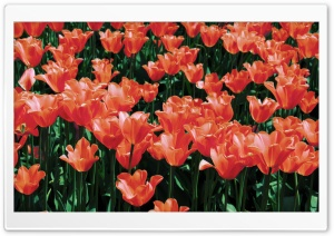 Orange Tulips Field HD Wide Wallpaper for Widescreen