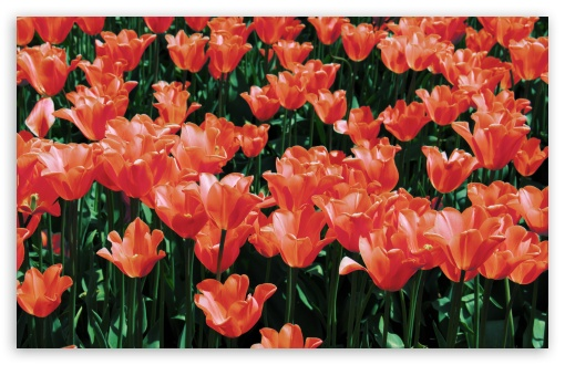 Orange Tulips Field ❤ 4K UHD Wallpaper for Wide 16:10 5:3 Widescreen WHXGA WQXGA WUXGA WXGA WGA ; 4K UHD 16:9 Ultra High Definition 2160p 1440p 1080p 900p 720p ; UHD 16:9 2160p 1440p 1080p 900p 720p ; Standard 4:3 5:4 3:2 Fullscreen UXGA XGA SVGA QSXGA SXGA DVGA HVGA HQVGA ( Apple PowerBook G4 iPhone 4 3G 3GS iPod Touch ) ; Smartphone 5:3 WGA ; Tablet 1:1 ; iPad 1/2/Mini ; Mobile 4:3 5:3 3:2 16:9 5:4 - UXGA XGA SVGA WGA DVGA HVGA HQVGA ( Apple PowerBook G4 iPhone 4 3G 3GS iPod Touch ) 2160p 1440p 1080p 900p 720p QSXGA SXGA ; Dual 16:10 5:3 16:9 4:3 5:4 WHXGA WQXGA WUXGA WXGA WGA 2160p 1440p 1080p 900p 720p UXGA XGA SVGA QSXGA SXGA ;