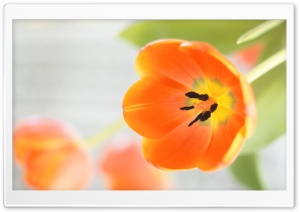 Orange Tulips Flowers HD Wide Wallpaper for Widescreen