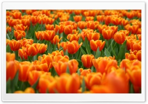 Orange Tulips Spring Flowers HD Wide Wallpaper for 4K UHD Widescreen desktop & smartphone