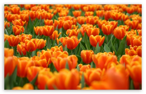 Orange Tulips Spring Flowers ❤ 4K UHD Wallpaper for Wide 16:10 5:3 Widescreen WHXGA WQXGA WUXGA WXGA WGA ; 4K UHD 16:9 Ultra High Definition 2160p 1440p 1080p 900p 720p ; Standard 4:3 5:4 3:2 Fullscreen UXGA XGA SVGA QSXGA SXGA DVGA HVGA HQVGA ( Apple PowerBook G4 iPhone 4 3G 3GS iPod Touch ) ; Tablet 1:1 ; iPad 1/2/Mini ; Mobile 4:3 5:3 3:2 16:9 5:4 - UXGA XGA SVGA WGA DVGA HVGA HQVGA ( Apple PowerBook G4 iPhone 4 3G 3GS iPod Touch ) 2160p 1440p 1080p 900p 720p QSXGA SXGA ;