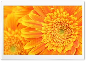 Orange Yellow Gerber Daisies Macro HD Wide Wallpaper for Widescreen
