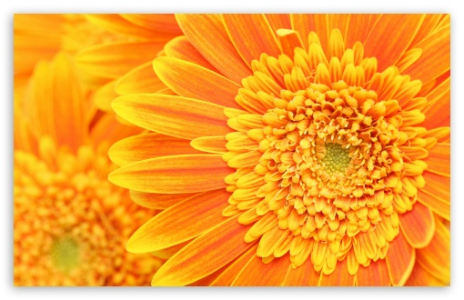 Orange Yellow Gerber Daisies Macro HD wallpaper for Wide 16:10 5:3 Widescreen WHXGA WQXGA WUXGA WXGA WGA ; HD 16:9 High Definition WQHD QWXGA 1080p 900p 720p QHD nHD ; Standard 4:3 5:4 3:2 Fullscreen UXGA XGA SVGA QSXGA SXGA DVGA HVGA HQVGA devices ( Apple PowerBook G4 iPhone 4 3G 3GS iPod Touch ) ; iPad 1/2/Mini ; Mobile 4:3 5:3 3:2 16:9 5:4 - UXGA XGA SVGA WGA DVGA HVGA HQVGA devices ( Apple PowerBook G4 iPhone 4 3G 3GS iPod Touch ) WQHD QWXGA 1080p 900p 720p QHD nHD QSXGA SXGA ;