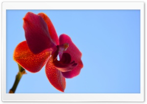 Orchid HD Wide Wallpaper for Widescreen