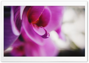 Orchid Ultra HD Wallpaper for 4K UHD Widescreen desktop, tablet & smartphone